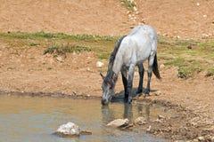 蓝色软羊皮的一岁在水坑的马驹野马在普莱尔山野马范围在蒙大拿美国 库存照片