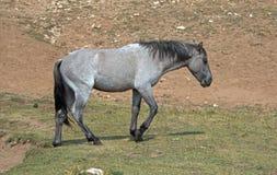 蓝色软羊皮的一岁在水坑的马驹野马在普莱尔山野马范围在蒙大拿 库存图片