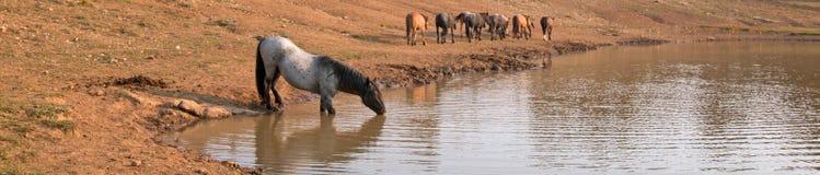 蓝色软羊皮的与野马牧群的公马野马在水坑的在普莱尔山野马范围在Montanna美国 库存图片