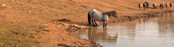 蓝色软羊皮的与野马牧群的公马野马在水坑的在普莱尔山野马范围在Montanna美国 库存照片