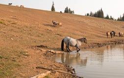 蓝色软羊皮的与野马牧群的公马野马在水坑的在普莱尔山野马范围在Montanna美国 免版税图库摄影