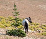 蓝色软羊皮的在普莱尔山野马范围的公马野马在蒙大拿美国 免版税库存图片