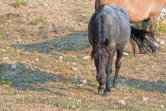 蓝色软羊皮的在曲折前进姿势的海湾公马野马在普莱尔山野马范围在蒙大拿美国 库存图片