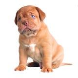 蓝色逗人喜爱的被注视的小狗 免版税图库摄影