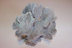 蓝色里奇珊瑚 图库摄影