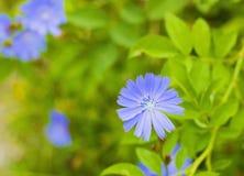 蓝色野花共同的苦苣生茯或菊苣属intybus在领域 免版税库存照片