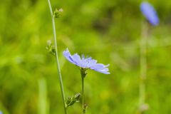 蓝色野花共同的苦苣生茯或菊苣属intybus在领域 免版税库存图片