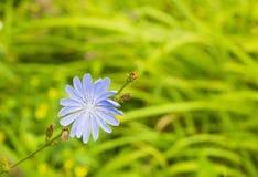 蓝色野花共同的苦苣生茯或菊苣属intybus在领域 库存图片