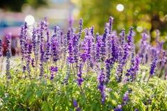 蓝色野花在夏天 库存图片