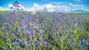 蓝色野花摇晃反对山背景在晴朗的天气的在春天 影视素材