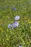 蓝色野花苦苣生茯& x28; 菊苣属intybus& x29;在夏天领域 库存照片