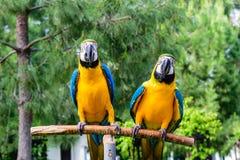 蓝色金刚鹦鹉夫妇  库存图片