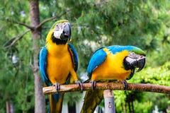 蓝色金刚鹦鹉夫妇  免版税库存图片