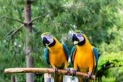 蓝色金刚鹦鹉夫妇  库存照片