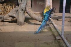 蓝色金刚鹦鹉着陆射击 免版税库存照片
