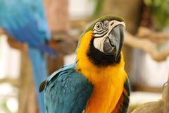 蓝色金刚鹦鹉纵向黄色 库存图片