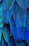 蓝色金刚鹦鹉羽毛 库存照片