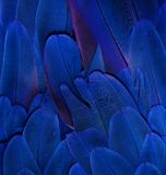 蓝色金刚鹦鹉羽毛 库存图片