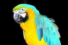 蓝色金刚鹦鹉鹦鹉黄色 免版税库存图片