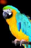 蓝色金刚鹦鹉鹦鹉黄色 库存照片