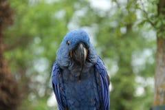 蓝色金刚鹦鹉鹦鹉 库存照片