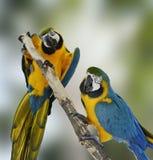 蓝色金刚鹦鹉鹦鹉 图库摄影