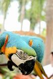 蓝色金刚鹦鹉鹦鹉 库存图片
