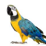 蓝色金刚鹦鹉黄色年轻人 图库摄影
