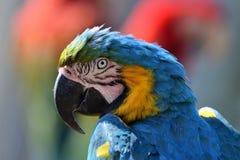 蓝色金刚鹦鹉黄色 免版税库存照片
