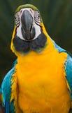 蓝色金刚鹦鹉黄色 库存图片