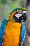 蓝色金刚鹦鹉黄色 库存照片