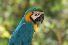 蓝色金刚鹦鹉黄色 (Ara ararauna) 免版税库存照片