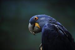 蓝色金刚鹦鹉 免版税图库摄影