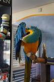蓝色金刚鹦鹉 免版税库存照片