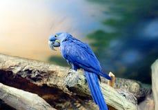 蓝色金刚鹦鹉 图库摄影