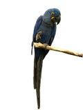 蓝色金刚鹦鹉 免版税库存图片