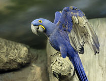 蓝色金刚鹦鹉 库存照片
