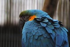 蓝色金刚鹦鹉头 免版税库存图片