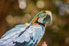 蓝色金刚鹦鹉Itatiba巴西 图库摄影