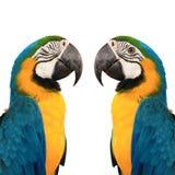 蓝色金刚鹦鹉yelow 免版税库存图片