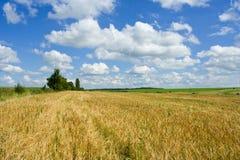 蓝色金天空麦子 免版税库存照片