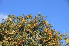 蓝色金桔天空结构树 免版税库存照片