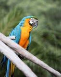 蓝色金金刚鹦鹉 库存照片