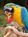 蓝色金金刚鹦鹉 图库摄影