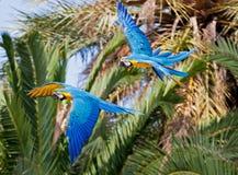 蓝色金金刚鹦鹉 免版税库存照片