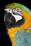 蓝色金金刚鹦鹉parrott 库存照片