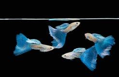 蓝色金鱼色彩艳丽的胎生小鱼游泳 免版税图库摄影