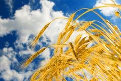 蓝色金黄天空麦子 免版税库存图片