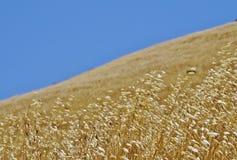 蓝色金黄象草的山坡天空 免版税库存图片