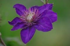蓝色铁线莲属alpina 库存照片